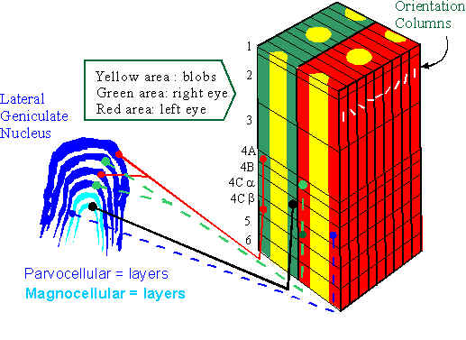 parvocellular last four layers outer layers small cellsVisual Cortex Layers